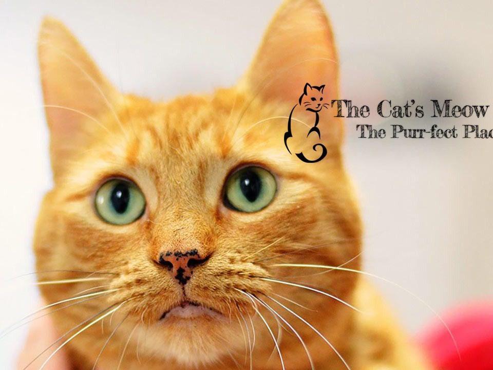 Cats-Meow-e1437259462717